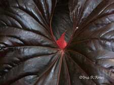 anthurium leaf photo by Ina Ames