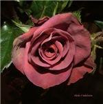 castera rose