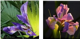 wild irises from Wakodahatchee imprinted on ceramic tiles