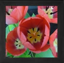 pink tulip round magnet