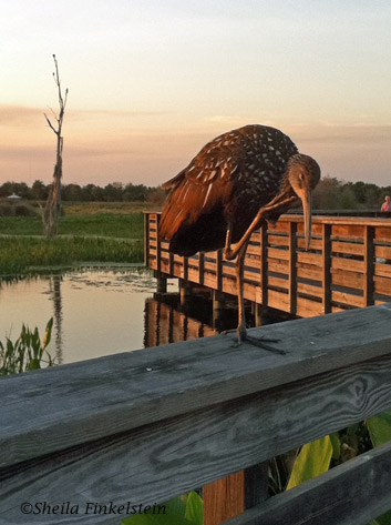 Limpkin tending himself at Sunset at Green Cay