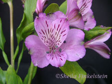 lavendar alstromeria