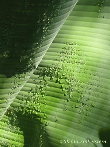 dew drops on a banana plant leaf