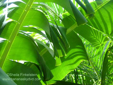 Light and shadows with banana tree leaves and arica palms with Banana Sky DVD