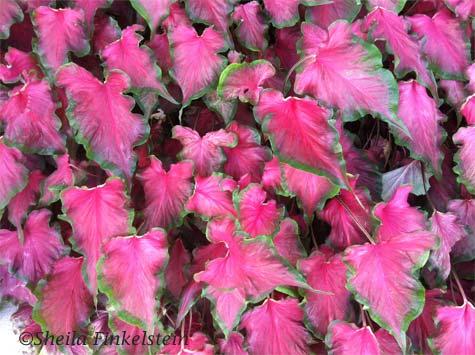 begonia leaves landscape