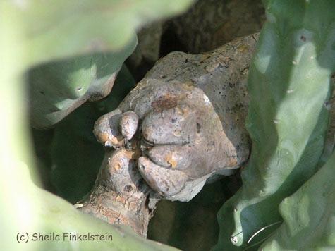 cactus face or fist