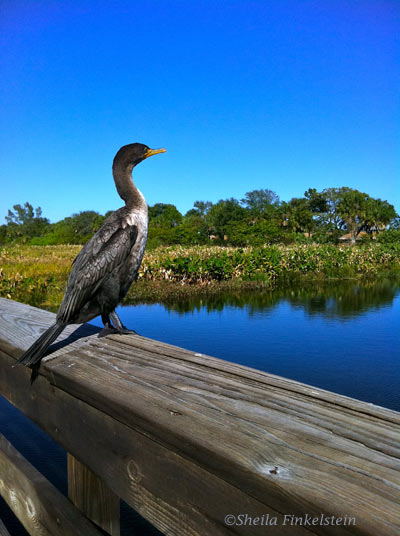cormorant and another view of Wakodahatchee Landscape