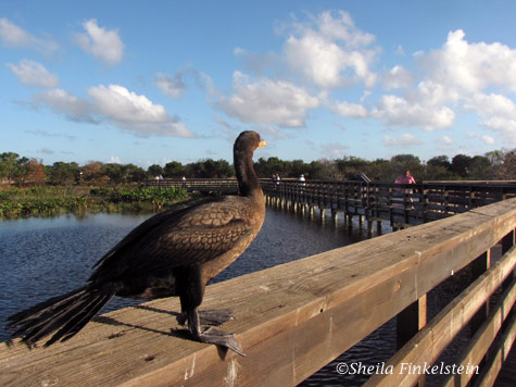 cormorant on boardwalk observing landscape at Wakodahatchee Wetlands