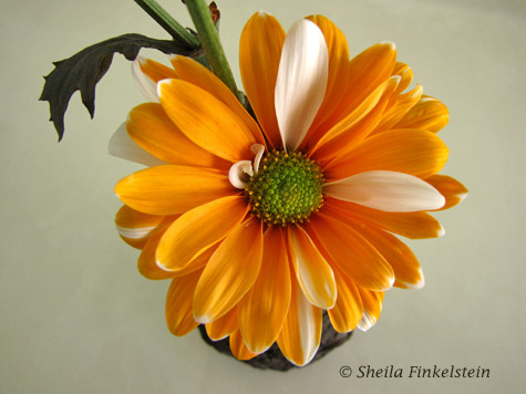 orange and white daisy in a vase