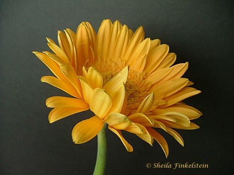 Gerber Daisy Yellow #1