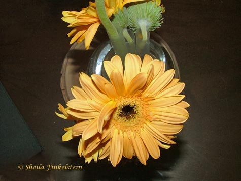 yellow Gerber Daisy #2