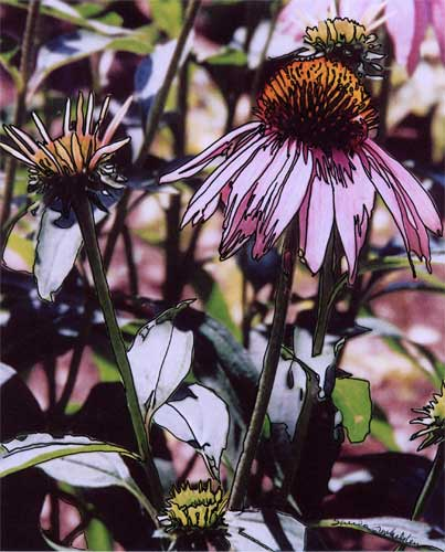 Echinacea #4 photo/drawing