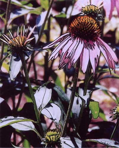 Echinacea #4 photo/drawing
