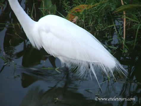 great white egret feathers