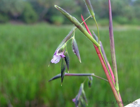 Purple fireflag flower in Wakodahatchee Wetlands