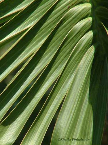 bottle palm tree frond at normal view