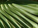 bottle treee palm frond