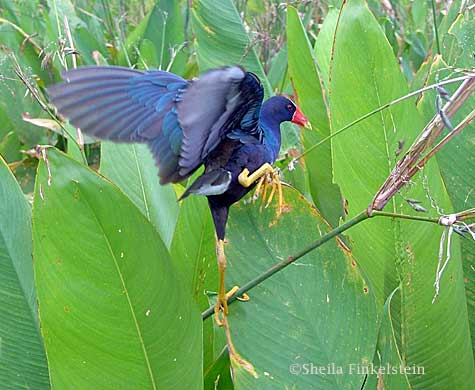 purple gallinule with one foot raised fireflag stem