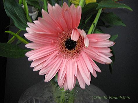 Wilting pink Gerber Daisy