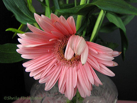 Wilted pink gerber daisy 2