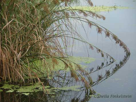Leaning and reflecting plants in Wakodahatchee Wetlands