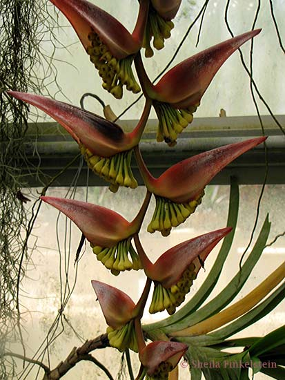 heliconia from AOS greenhouse
