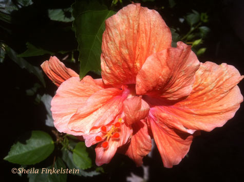 Orange hibiscus full of wrinkles
