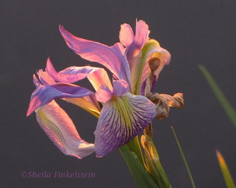 Wild Iris in Wakodahatchee Wetlands