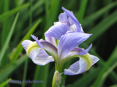 wild iris in Wakodahatchee wetlands