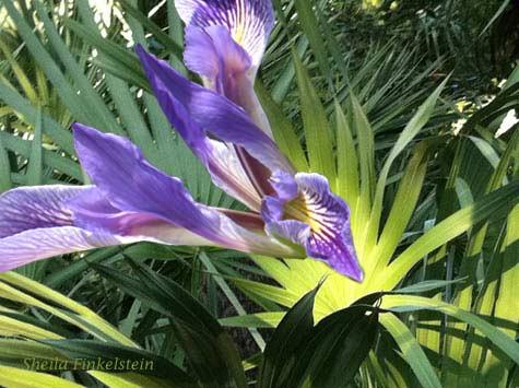 Iris birdlike image on Arica Palm leaves