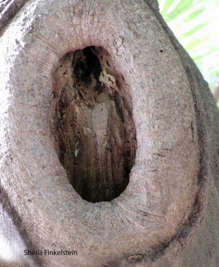Wood knot in a tree in Key West with a hidden lady image