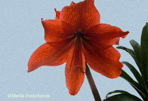 orange lily on a blue textured background
