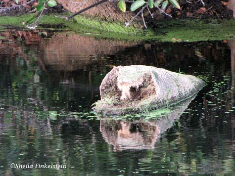 log that looks like a dog in the water at Green Cay Wetlands