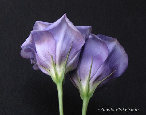 2 silky purple lysianthus