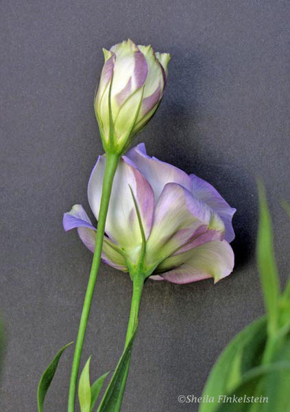 lysianthus lavenderbuds1 Breathing in Relaxation from Lisianthus Flower   Treasure Your Life Now v8 30
