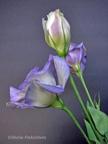 3 lavendar lysianthus buds