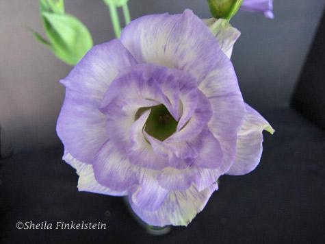 lavendar lysianthus