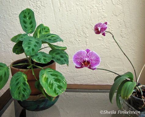 maranta - prayer plant - and phalaenopsis orchid plant - loyalty and devotion