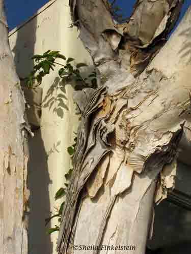 Melaleuca triee with peeling bark