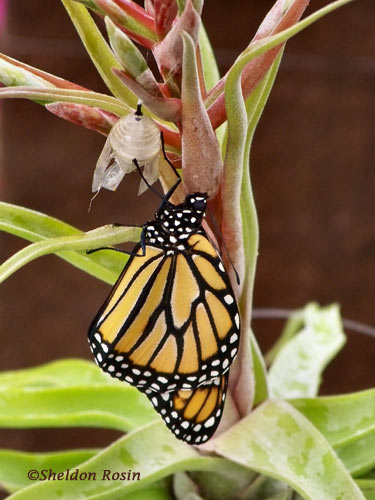 monarch butterfly emerged from chrysalis