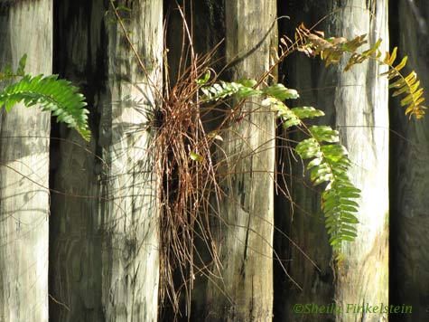 Posts and ferns in Morikami Gardens