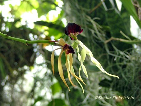 clamshell orchid - Prosthechea cochleata