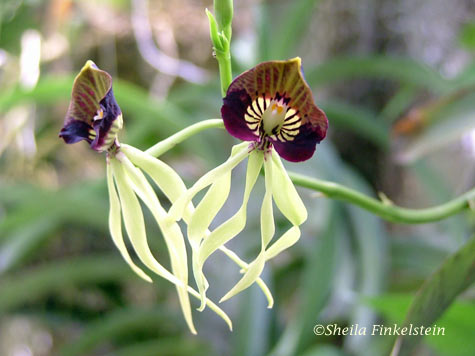 cockleshell or clamshell orchid close-up - Prosthechea cochleata