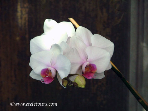 White phalaenopsis orchids from American Orchid Society Greenhouse