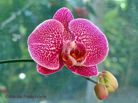 phalaenopsis and 2 buds