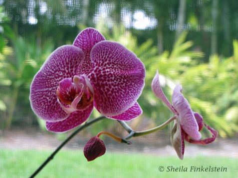 phalaenopsis in front of screened window