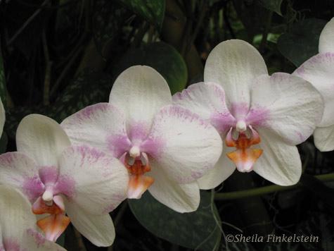 phalaenopsis darker background
