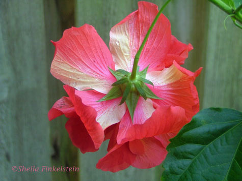 underside of a red hibiscus against a privacy fence