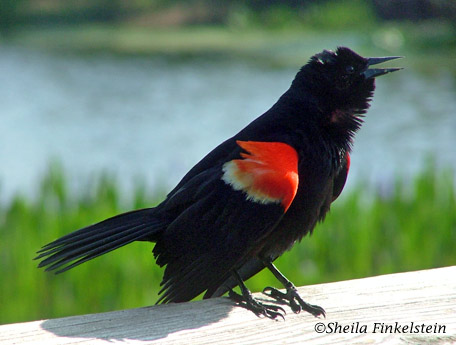red-winged blackbird in Green Cay Wetlands