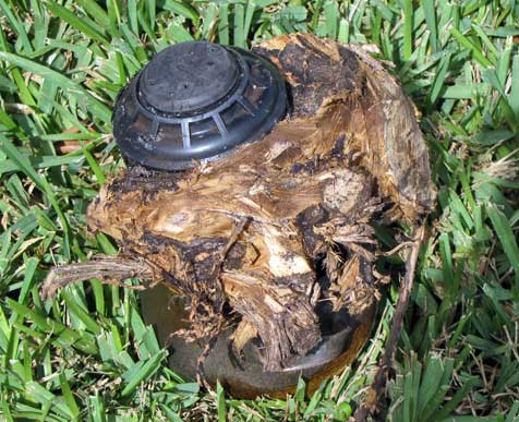 face in root wrapped around a sprinkler head